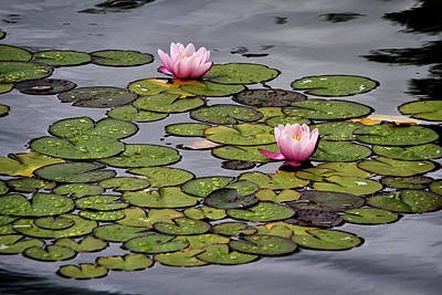 Photograph - Water Lilies by Shirley Mitchell