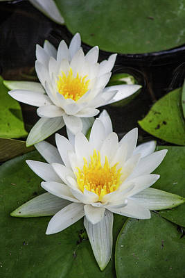 Photograph - Water Lilies by Teresa Wilson