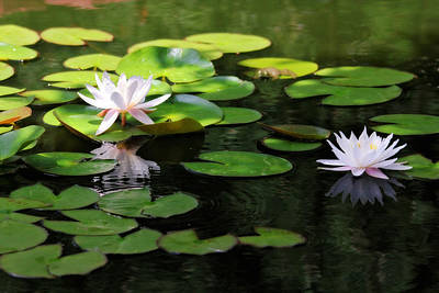 Photograph - Water Lilies by Trina  Ansel