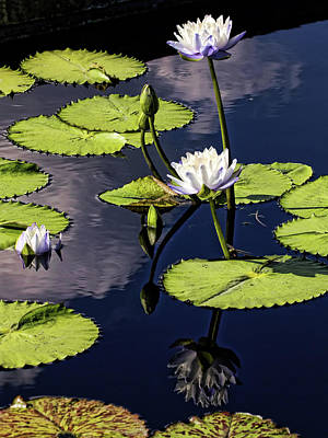 Photograph - Water Lilies With Reflection by Judy Vincent
