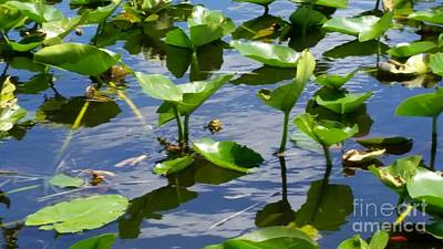Photograph - Water Lilies, Florida Everglades by Jimmy Clark