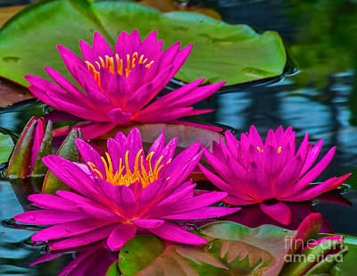 Photograph - Water Lillies 15-1 by Nick Zelinsky