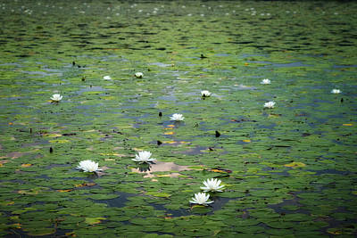 Photograph - Water Lillies 2017 by Bill Wakeley