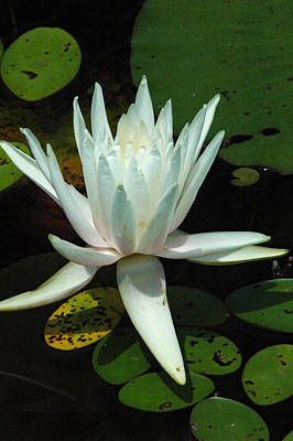 Photograph - Water Lilly by David Weeks