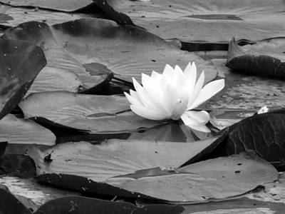 Water Lilly Art Print by Noelle  Kimberley