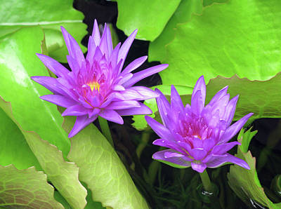 Photograph - Water Lily 04 - Purple - Kauai, Hawaii by Pamela Critchlow
