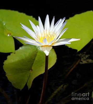 Photograph - Water Lily 1 by Rachel Munoz Striggow