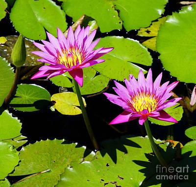 Photograph - Water Lily 11 by Rachel Munoz Striggow