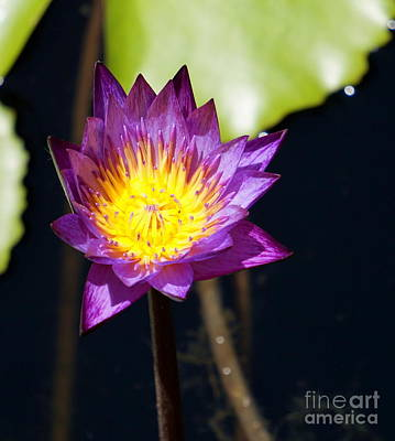 Photograph - Water Lily 13 by Rachel Munoz Striggow