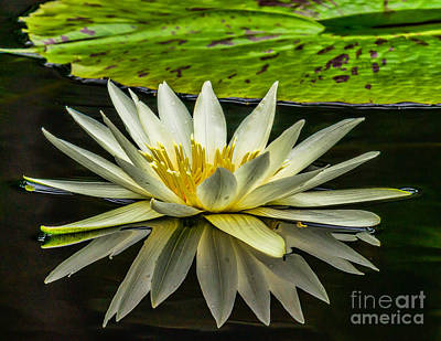 Photograph - Water Lily 15-3 by Nick Zelinsky