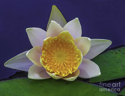Photograph - Water Lily 15-4 by Nick Zelinsky