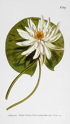 Photograph - Water Lily, 1805 by Granger