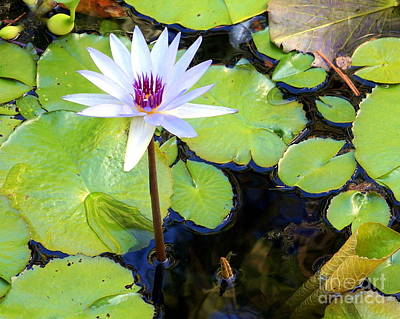Photograph - Water Lily 3 by Rachel Munoz Striggow