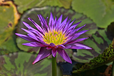 Photograph - Water Lily 30 by Allen Beatty