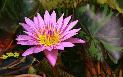 Photograph - Water Lily 32 by Allen Beatty