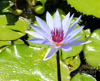 Lily Photograph - Water Lily 4 by Rachel Munoz Striggow