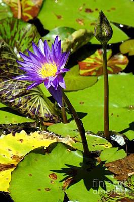 Photograph - Water Lily 6 by Rachel Munoz Striggow