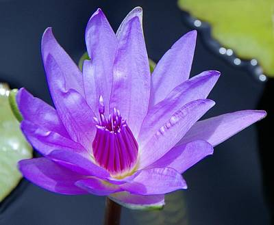 Photograph - Water Lily 8 by Phyllis Spoor