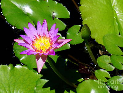 Photograph - Water Lily 9 by Rachel Munoz Striggow