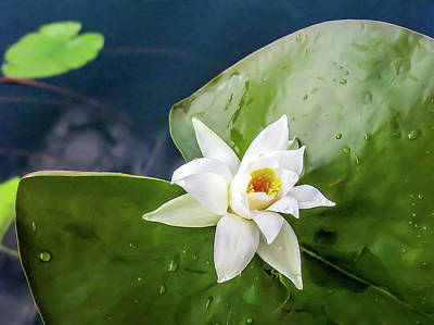 Water Lily After Rain - One White Waterlily With Drops After Rain Art Print by Nat Air Craft