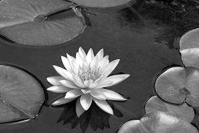 Photograph - Water Lily - Afternoon Delight - Bw by Pamela Critchlow