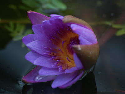 Photograph - Water Lily Beauty by Stewart Helberg