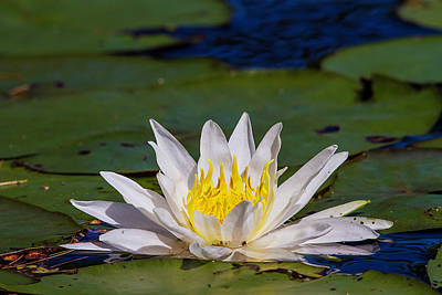 Photograph - Water Lily by Benjamin Dahl