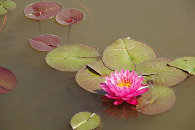 Photograph - Water Lily by Bj Hodges