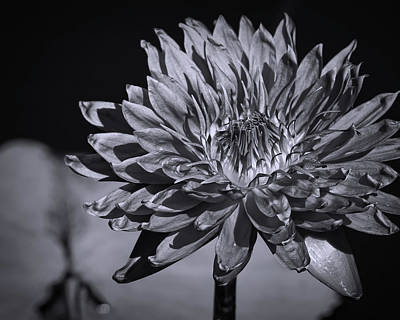 Photograph - Water Lily Black And White by Judy Vincent