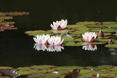 Photograph - Water Lily Dancers by Liz Marr