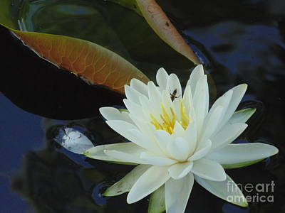 Photograph - Water Lily by Daun Soden-Greene