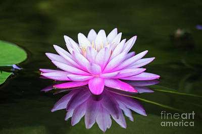 Photograph - Water Lily by Ed Taylor