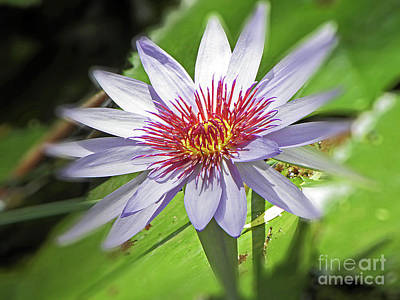 Photograph - Water Lily by Elizabeth Hoskinson