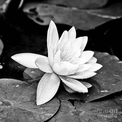 Water Lily Flower Art Print by Gordon Wood