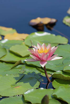 Photograph - Water Lily Flower With Dragonfly by Bernard Lynch