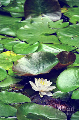 Water Lily II Art Print by HD Connelly