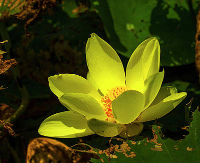 Photograph - Water Lily In August by Jeff Kurtz