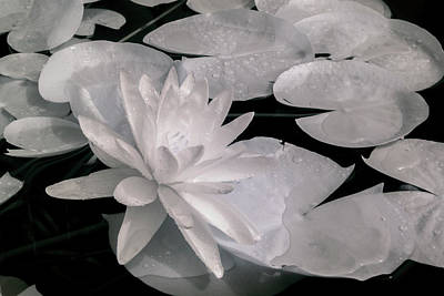 Photograph - Water Lily In Infrared by Liza Eckardt