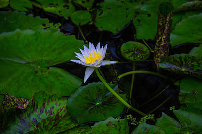 Waterlily Photograph - Water Lily In Pond by Garry Gay