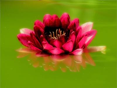 Photograph - Water Lily In Red by MTBobbins Photography
