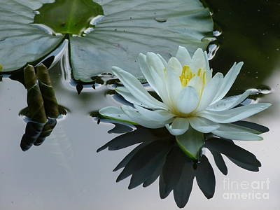 Photograph - Water Lily In Spring by Jane Ford