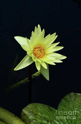 Photograph - Water Lily In Yellow by Cindy Manero