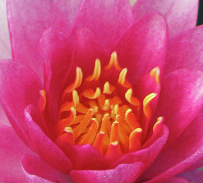 Photograph - Water Lily - Into The Fire 01 by Pamela Critchlow
