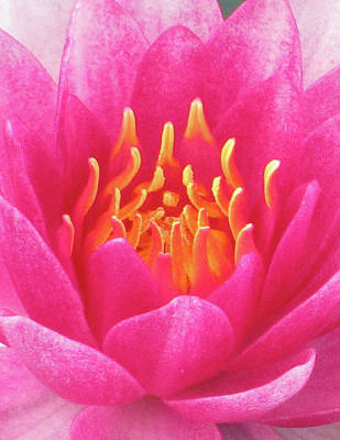 Photograph - Water Lily - Into The Fire 03 by Pamela Critchlow