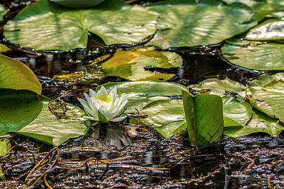 Photograph - Water Lily by Irwin Seidman