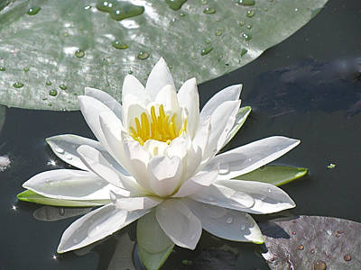 Photograph - Water Lily by Jack R Perry