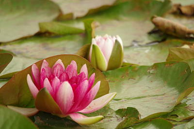 Lilies Royalty-Free and Rights-Managed Images - Water Lily by Jeff Swan