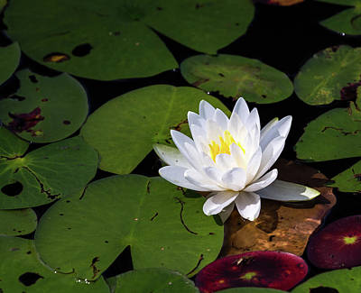 Photograph - Water Lily by Jim Gillen