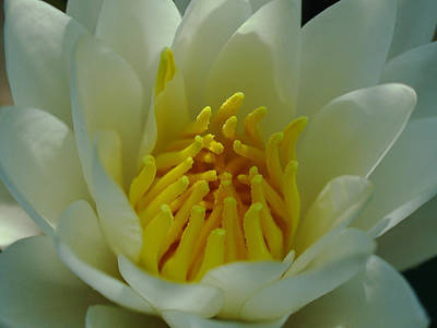 Lilies Royalty-Free and Rights-Managed Images - Water Lily by Juergen Roth