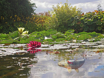 White Water Lilies Photograph - Water Lily Koi Pond by Gill Billington